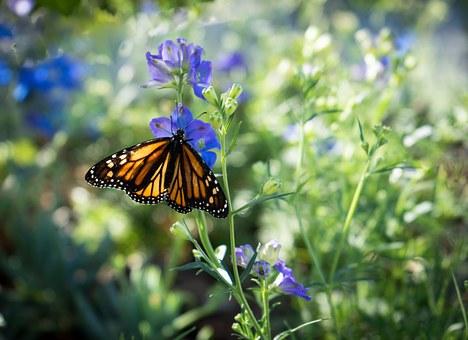 monarch-butterfly-623075__340.jpg