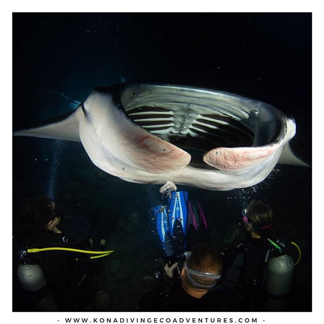 💙🌊Join for the amazing Manta Ray Night Dive & Snorkel EcoAdventure! Book Now: 👉www.konadivingecoadventures.com👈  #hawaii #familyfun #bucketlist #wildlifeofinstagram #pilotwhales #dolphins #sharks #whales #mantarays  #snorkeling #bluewaters #adventure #joinus #bigisland #wonderful_places #wildlife #picoftheday #hawaiitravel #underwaterworld #doyoutravel #travel #bestvacations #visualvibes #marinelife #keepitwild #ocean #naturegram #bestvacations