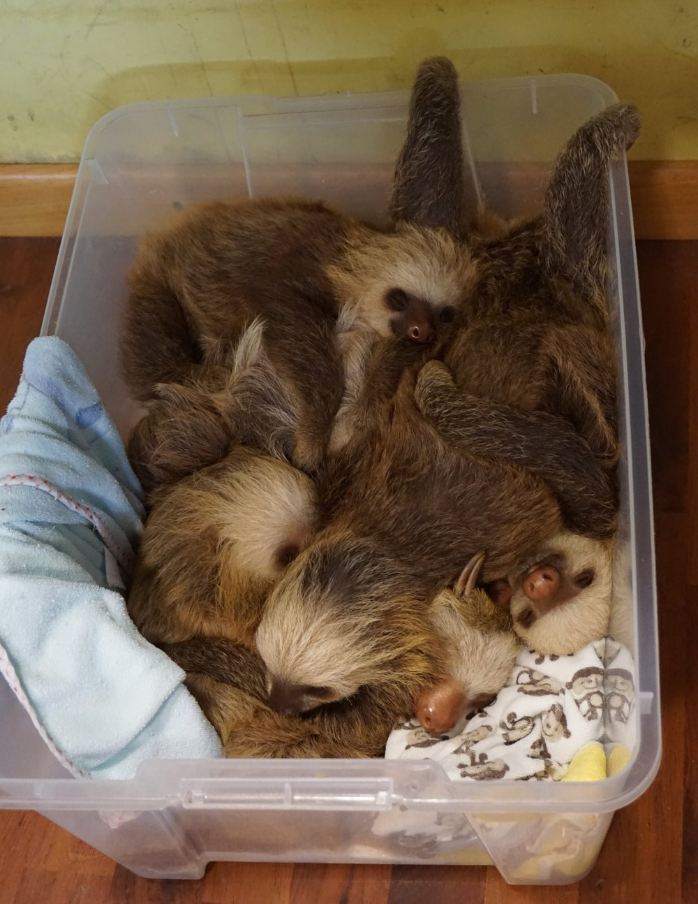 Photo: A bucket full of two-fingered sloths in the Sloth Sanctuary P.I.C.U.