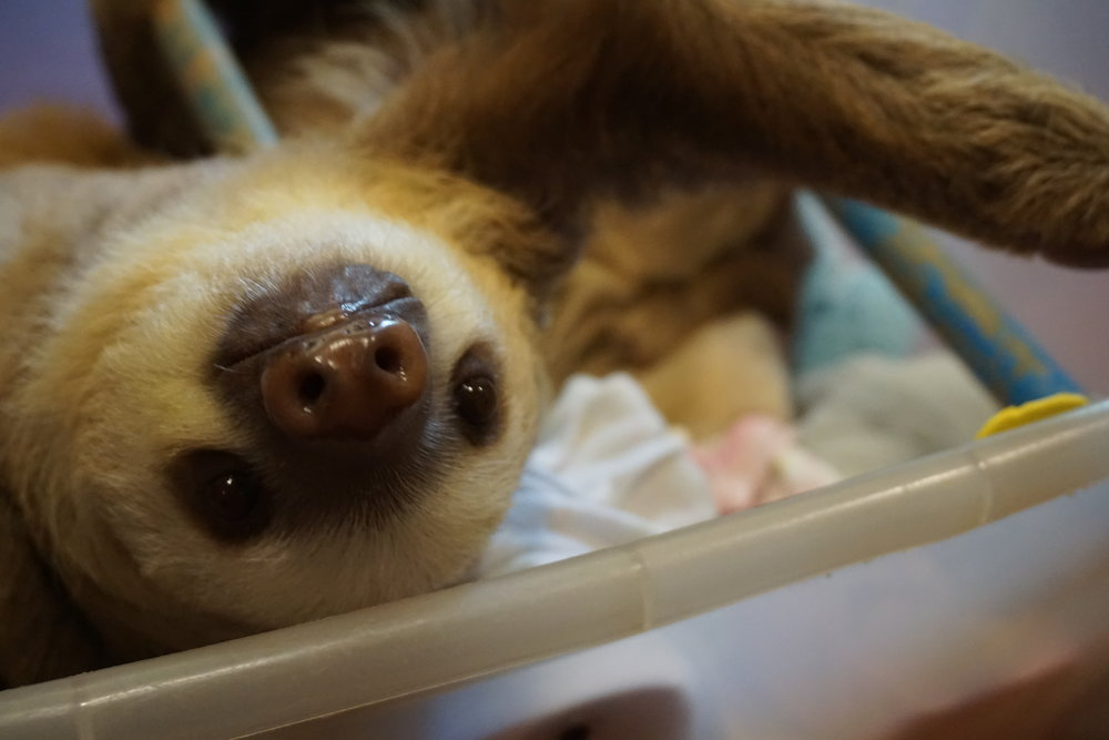 Photo: A two-fingered sloth says HELLO!!!
