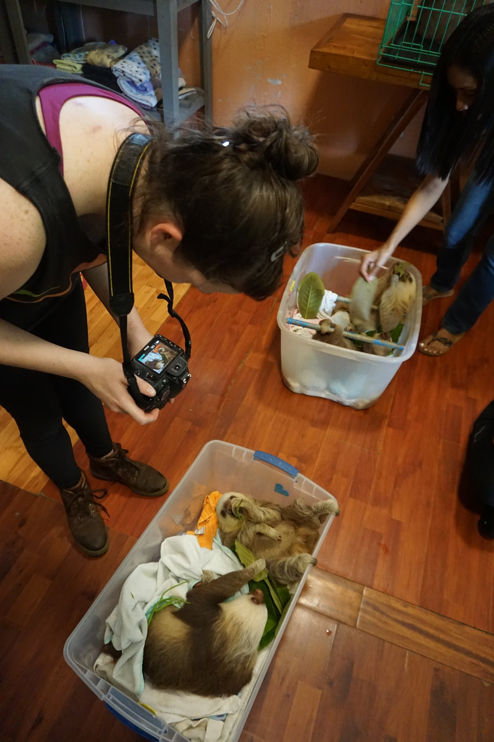 Photo: Anna Wells, New Thing Nurse team member, photographs two-fingered sloth during feeding time at the Slothpital.