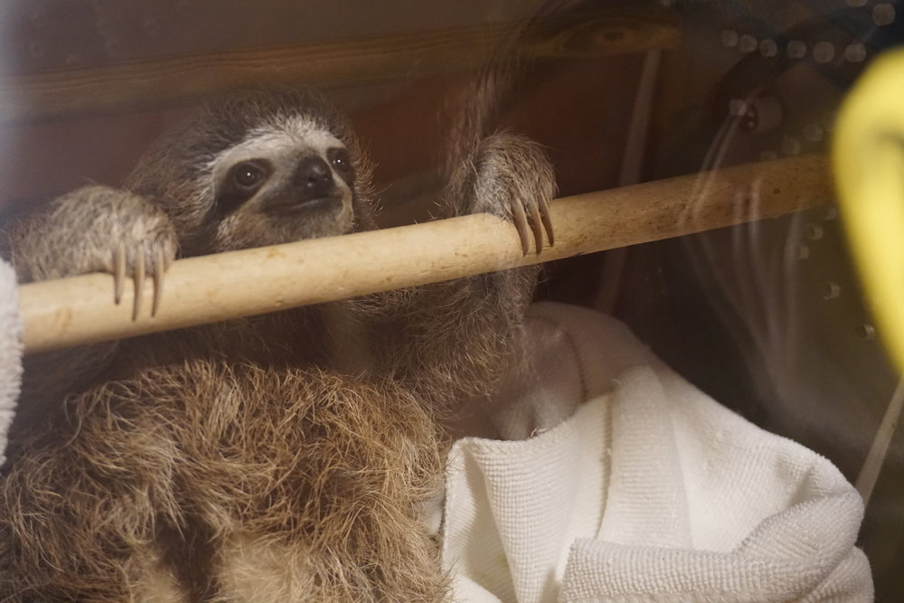 Photo: A three-fingered sloth awaits lunch in the Slothpital N.I.C.U.