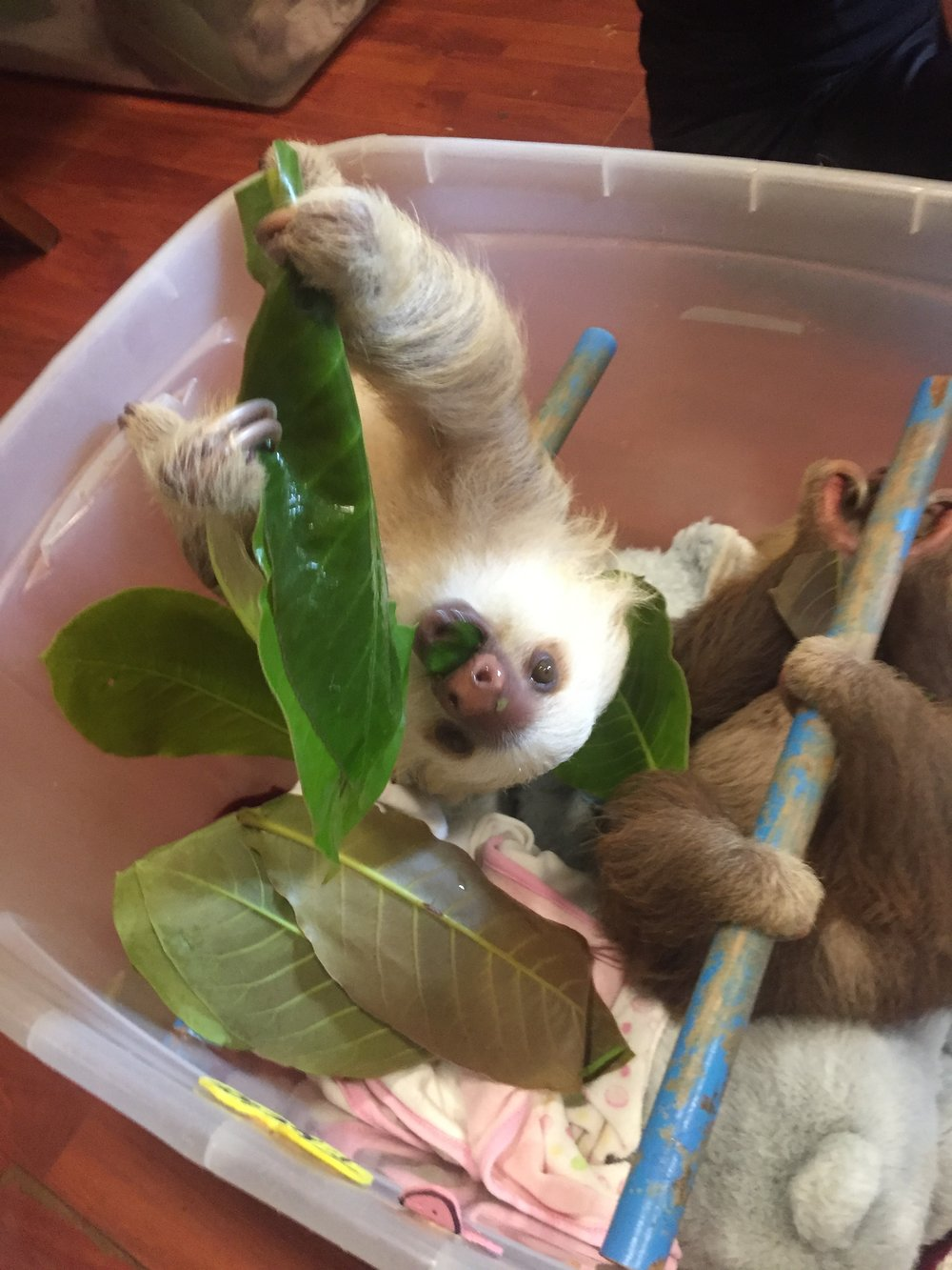 Photo: A two-fingered sloth chows down on Beach Almond leaves for lunch.