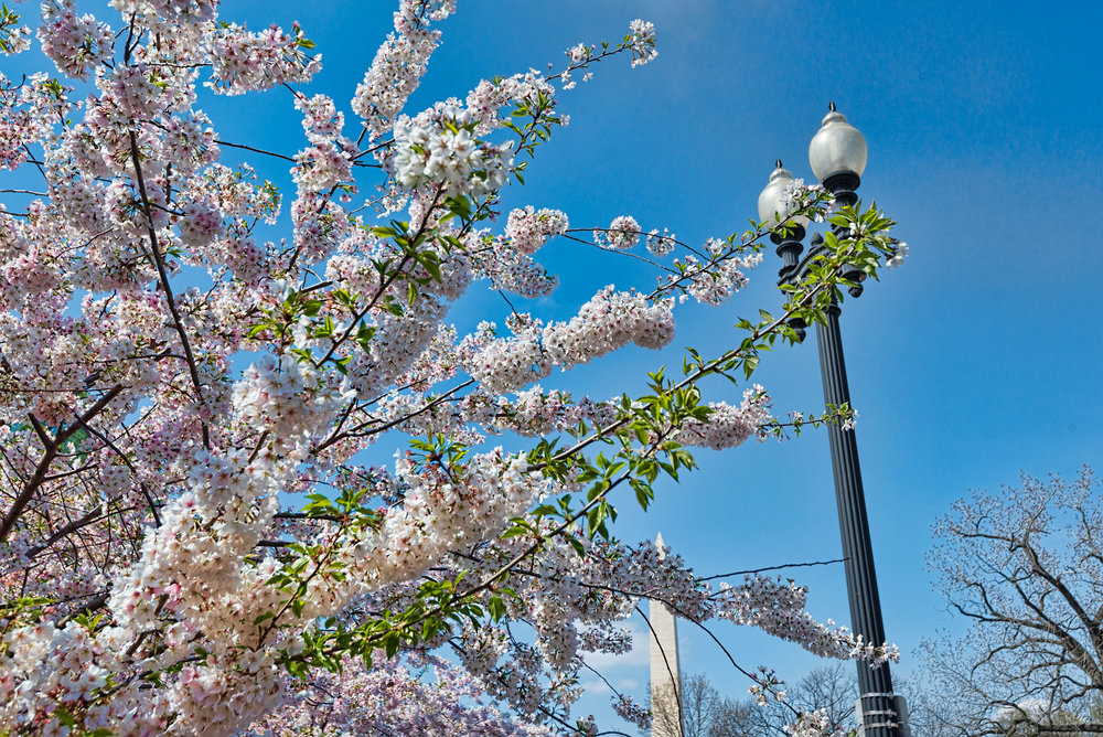 Cherry Blossom with Washington Monument in the background