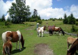 Wild ponies at Grayson Highlands