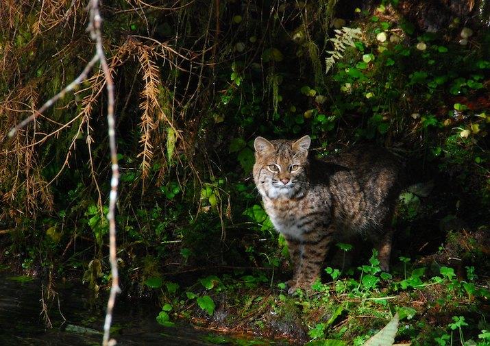 bobcat-onp-nps.jpg
