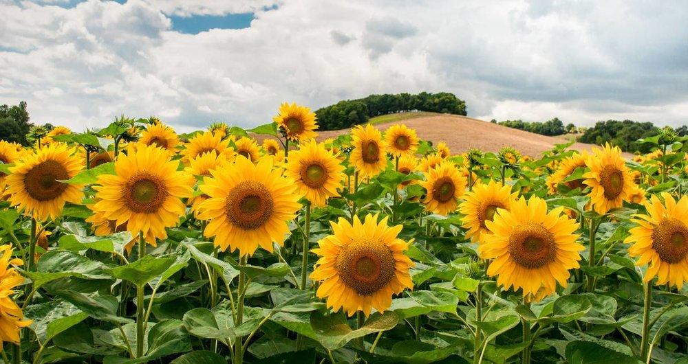 chilliwack_sunflower_fest.jpg