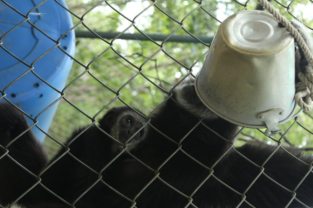 A baby gibbon observes her mother drinking from their water pail. One of our daily tasks was refilling water regularly, a challenge indeed with some gibbons who loved to dump out the buckets for fun.