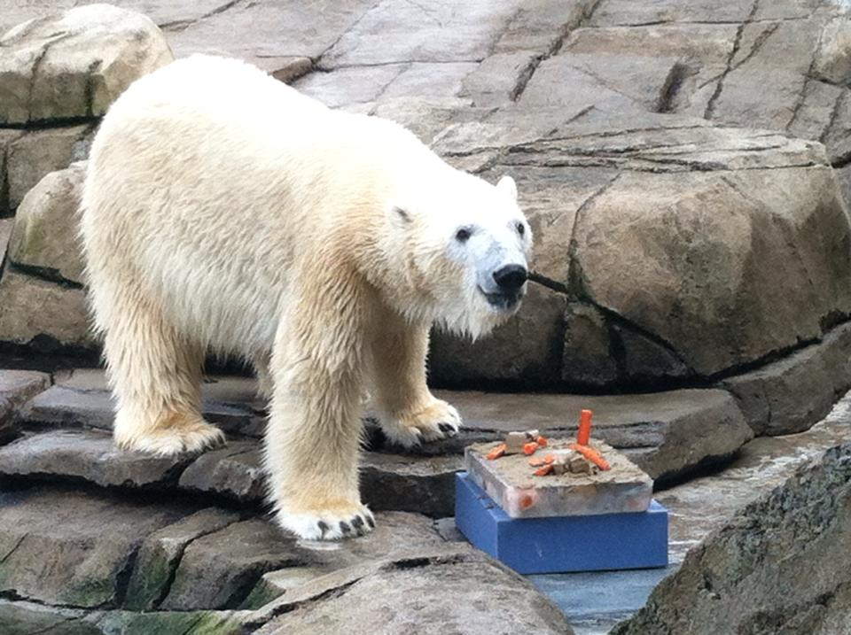One of my jobs was to prepare enrichments for the animals. On special occasions, like a polar bear birthday, extra care went into crafting an especially interesting treat.