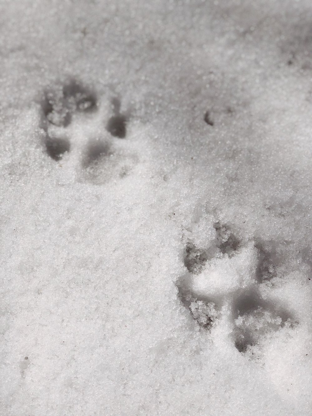 02.28.18_Lake Arrowhead_Samoyed Sumo_Ali Heiss_13.JPG