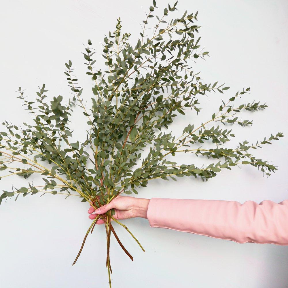 Eucalytpus parvifolia