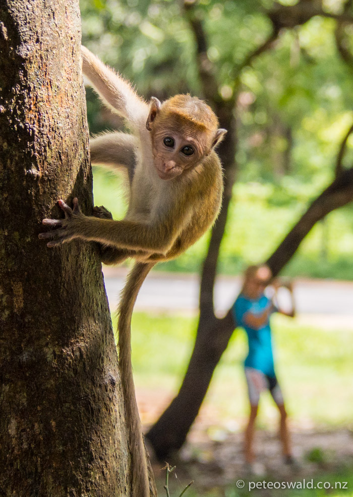 A baby Toque Macaque, very personable but cheeky buggers, one stole our cashew nuts!