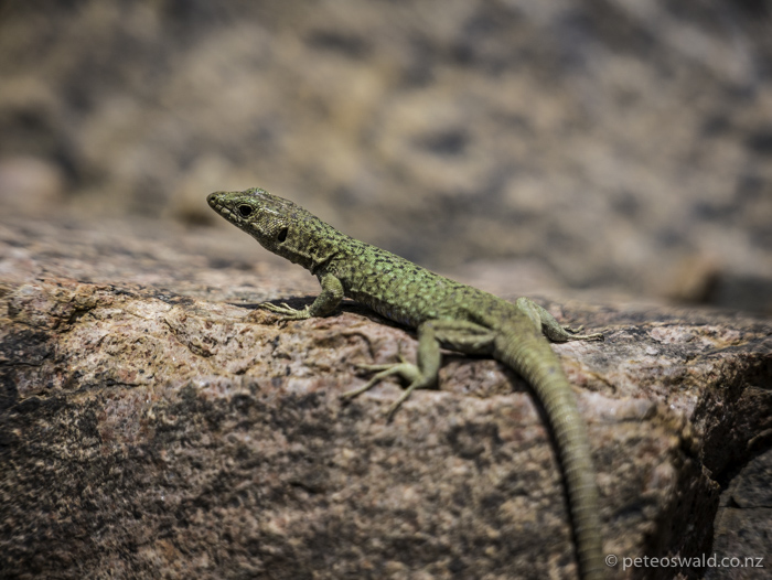 These little guy, the Tyrrhenian Wall lizard, are everywhere in the mountains there