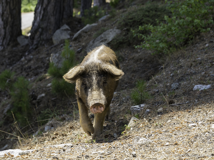Pigs. There are thousands of pigs in Corsica and are the source of Corsica's famous pork meats. They are freedom farmed in a way that they are free to roam where they like but return to their homes (farms) in the evenings for food and shelter.