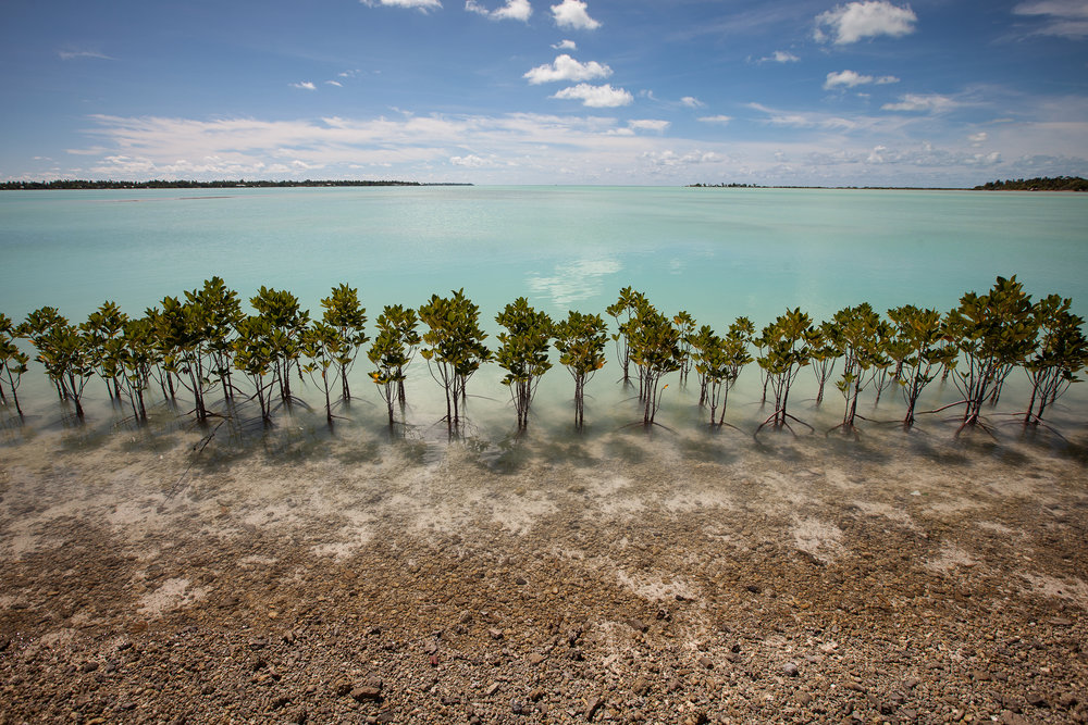 Mangrove plantations are one of the methods used in the attempt to protect the land from the ocean. Their extensive root systems help build up sand and act as a buffer against storm surges.