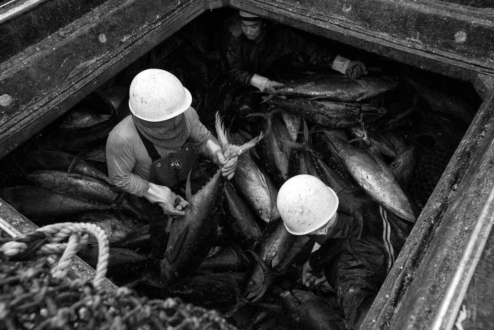 The Filipino crew unloads skipjack from the bowels of a Taiwanese purse seiner. There are over 200 purse seiners fishing in Kiribati at any one time, and the sheer number of these boats operating has resulted in tuna stocks being declared dangerously low.
