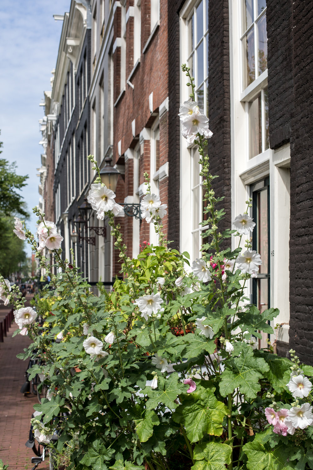 amsterdam-summer-hollyhocks-2.jpg