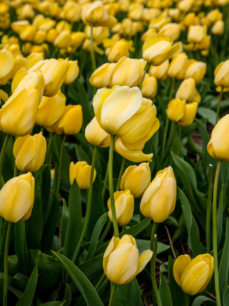 Lily-Heaton-Tulips-2018-3.jpg