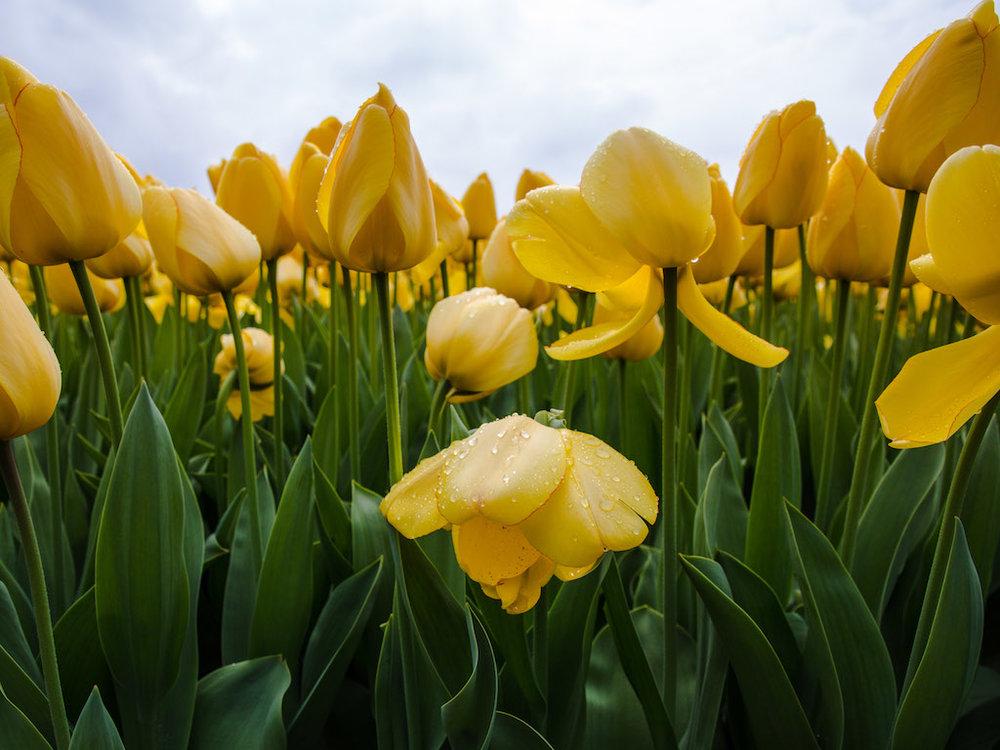 Lily-Heaton-Tulips-2018-9.jpg