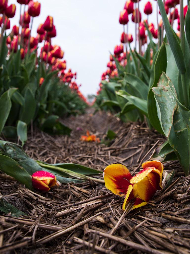 Lily-Heaton-Tulips-2018-6.jpg