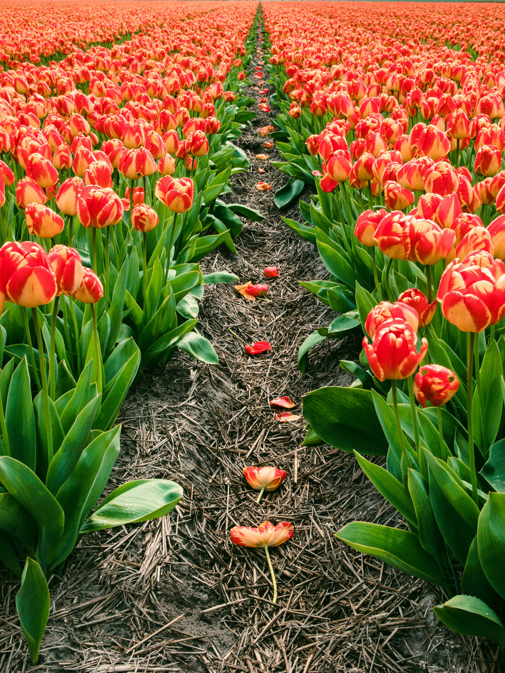 Lily-Heaton-Tulips-2018-19.jpg