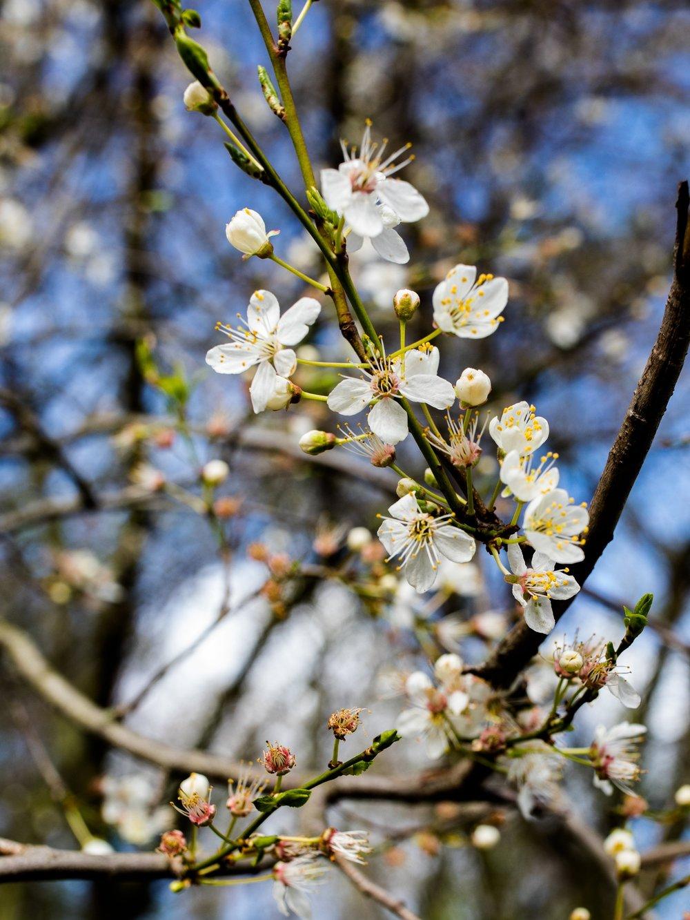 Amsterdam+Vondelpark+Spring+Cherry+Blossoms+2019+%C2%A9+Lily+Heaton-24.jpg