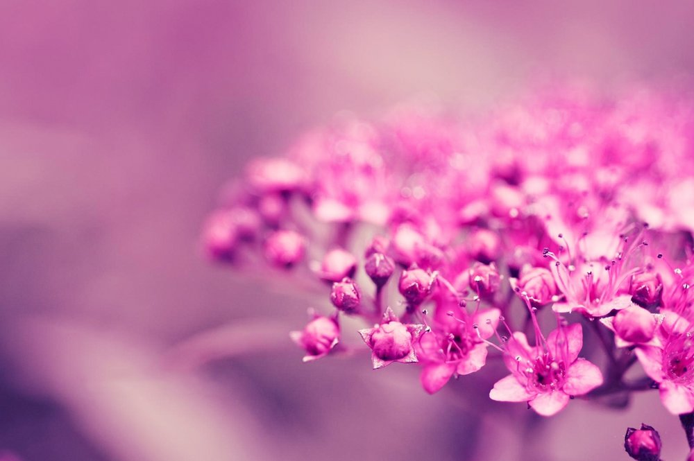 flowers-macro-pink-flowers-wallpaper-4.jpg