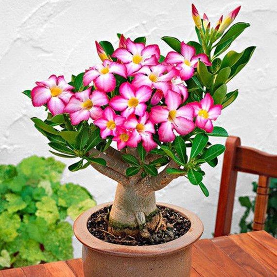 25 or 100 seeds DESERT ROSE Peony adenium obesum Bonsai 5
