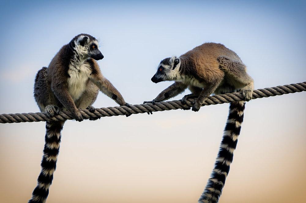 Lemurs on Rope