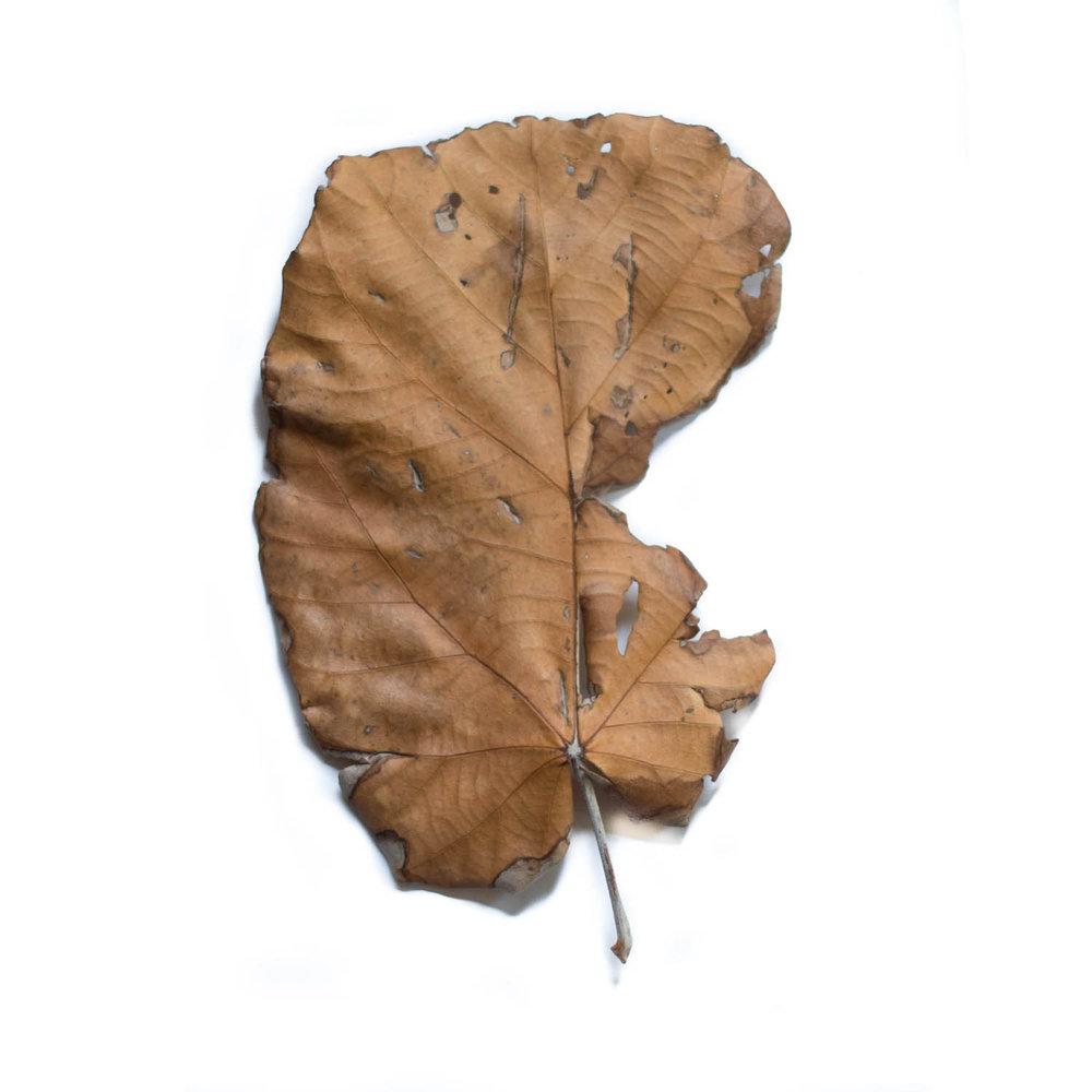 MAP leaf syn.jpg