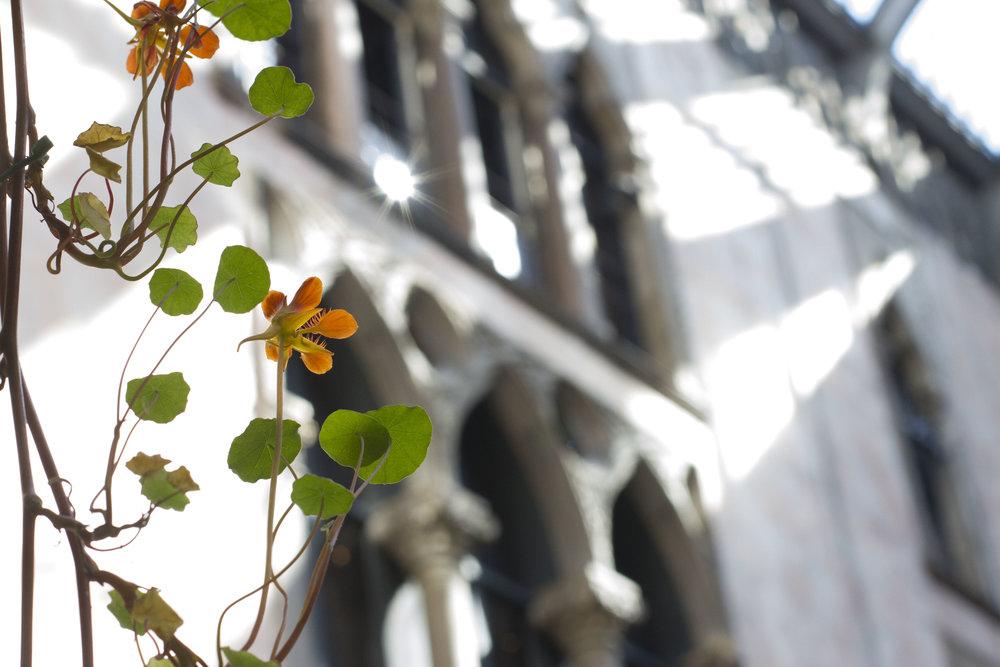 nastursium vine and ceiling.jpg