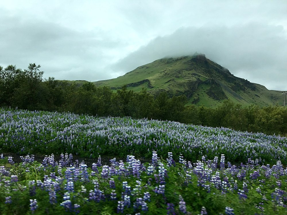 Driving through kilometers of arctic lupine growing out of the lava, one of the blurry, beautiful moments that took my breath away.