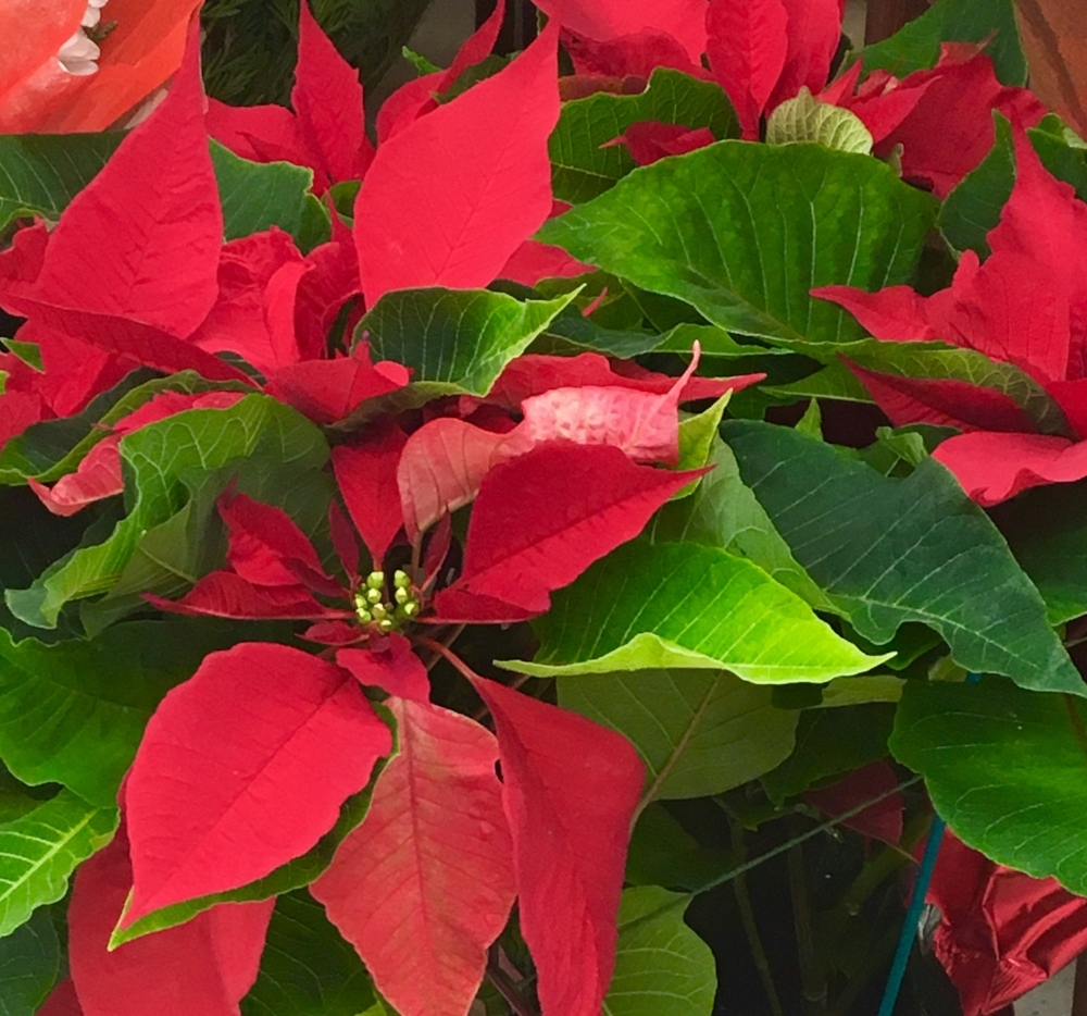 Poinsettas- a plant indigenous to Mexico, but used as decoration all over New Mexico at Christmas time.
