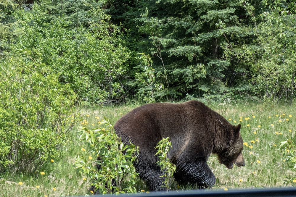 Grizzly eating dandelions 10 feet from the road.