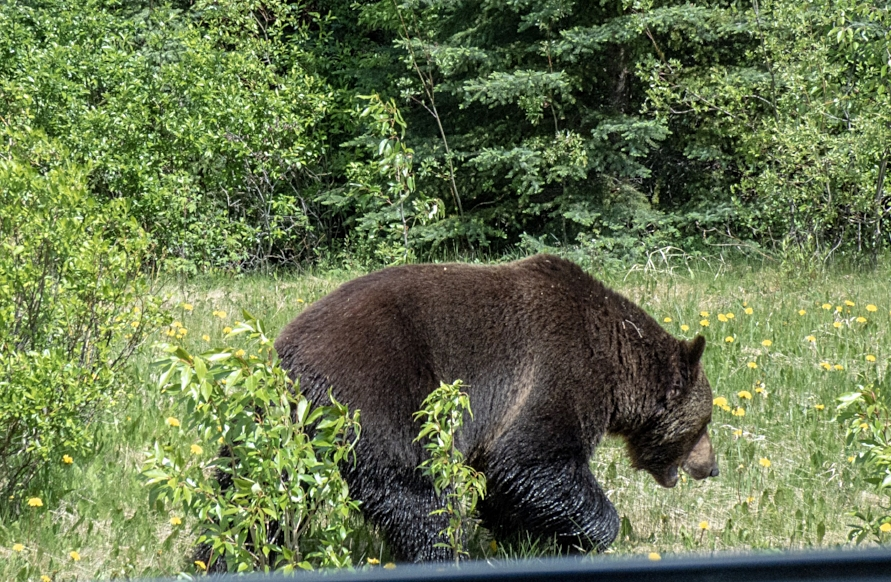 From the window of the car, a big grizzly eating a favorite food, dandelions.