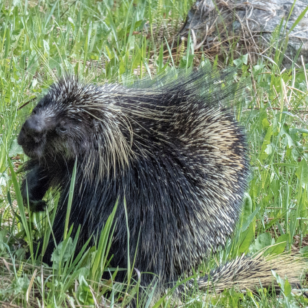 A Porcupine grazing in the grass right by Lake Louise