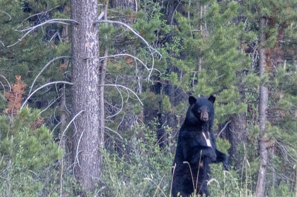 This black bear has an unusual white bib pattern on her chest!