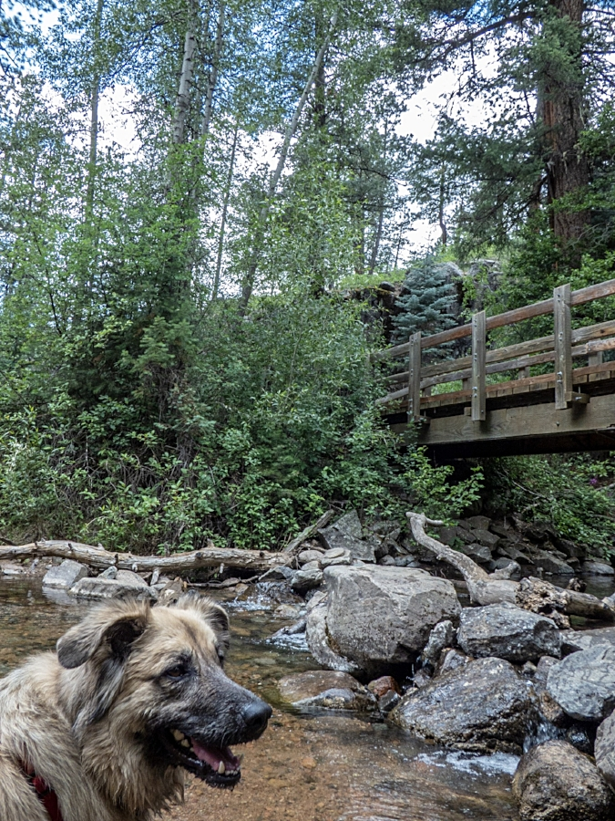 Roxy enjoying the creek at the beginning of Vallecito Creek Trail