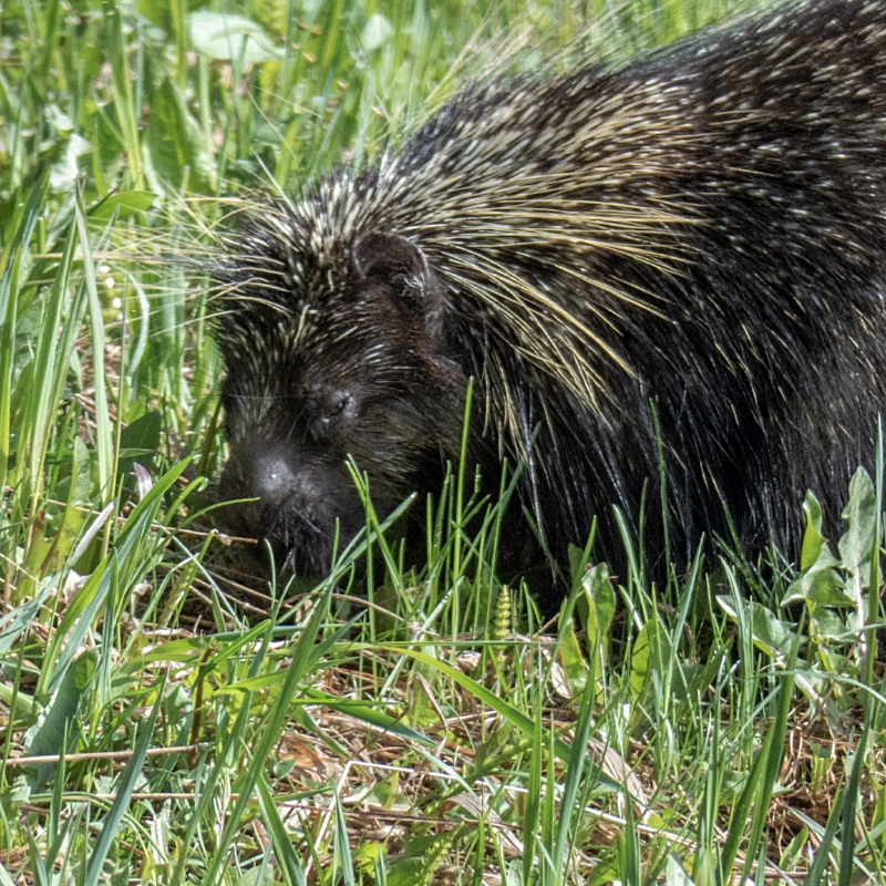 Cute porcupine munching on grass at the beginning of the hike.