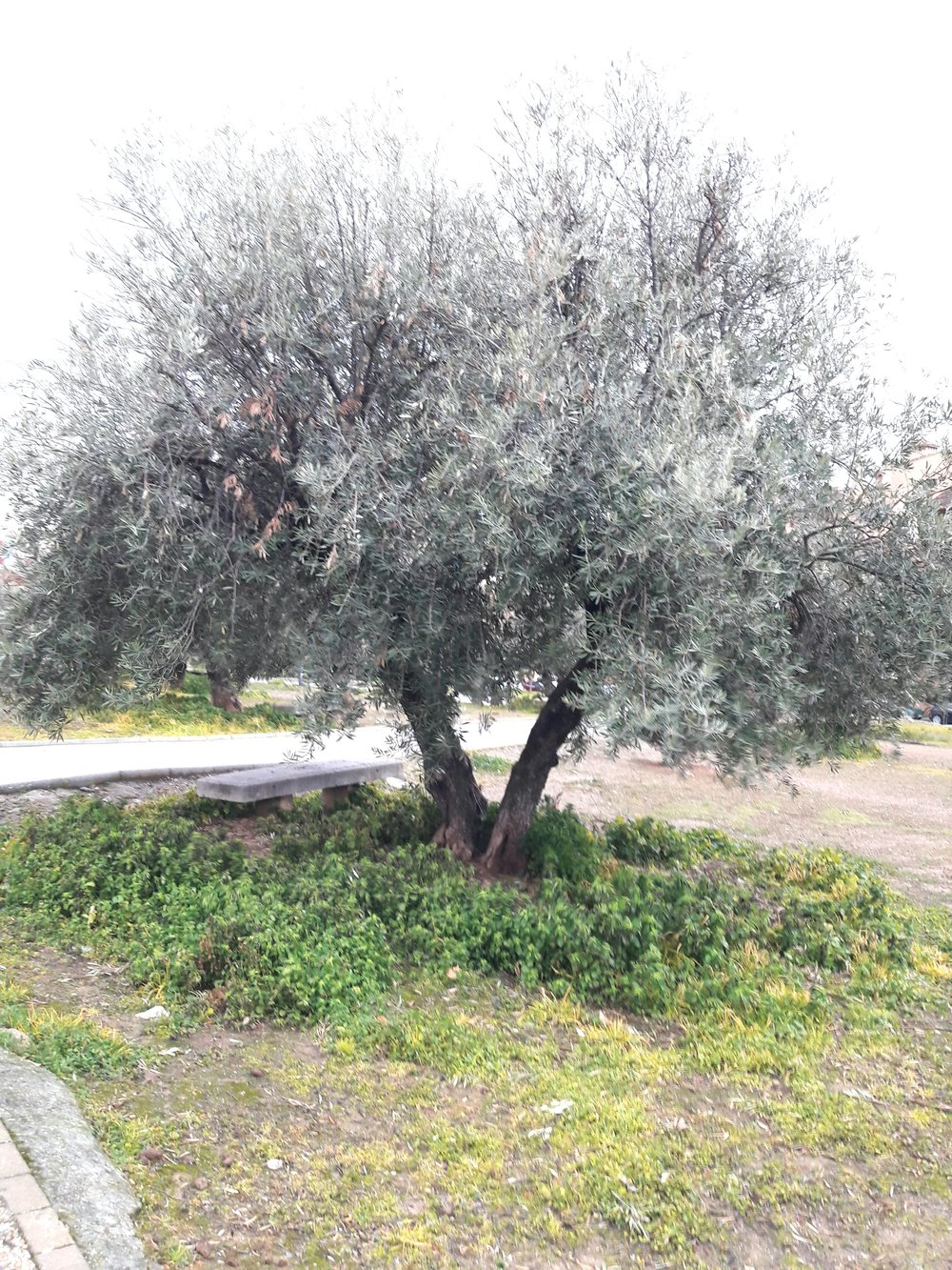An olive tree now grows in the spot Lorca is thought to have been shot.
