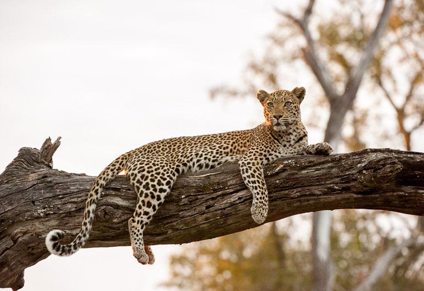 leopard_safari_africa.jpg