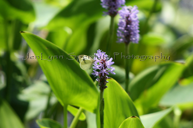 New white moth purple flowers print jenlynn sperduto new white moth purple flowers print mightylinksfo