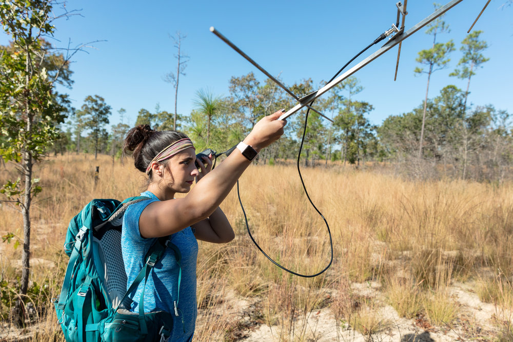 Sara using a radio tracker to find snakes equipped with radio trackers.