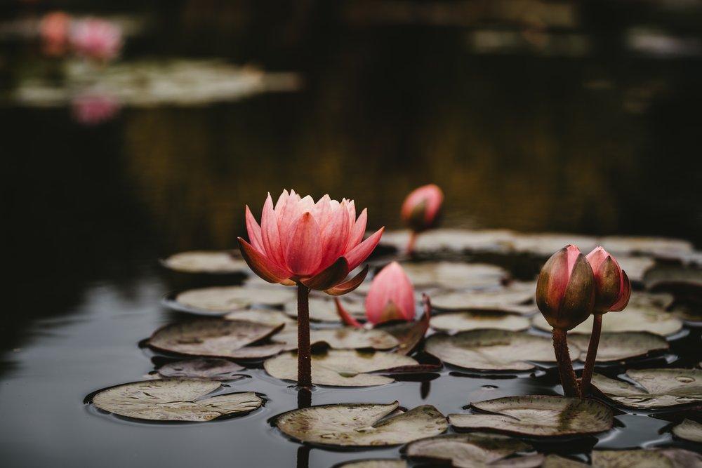 No Mud, No Lotus. Photo by Xuan Nguyen