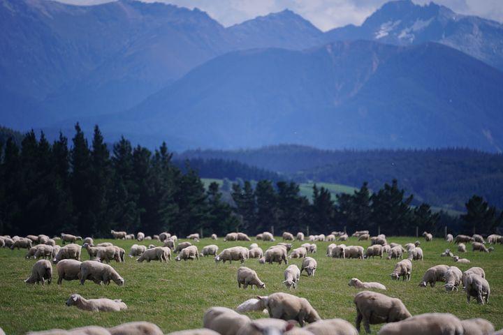 sheep-1766722__480.jpg