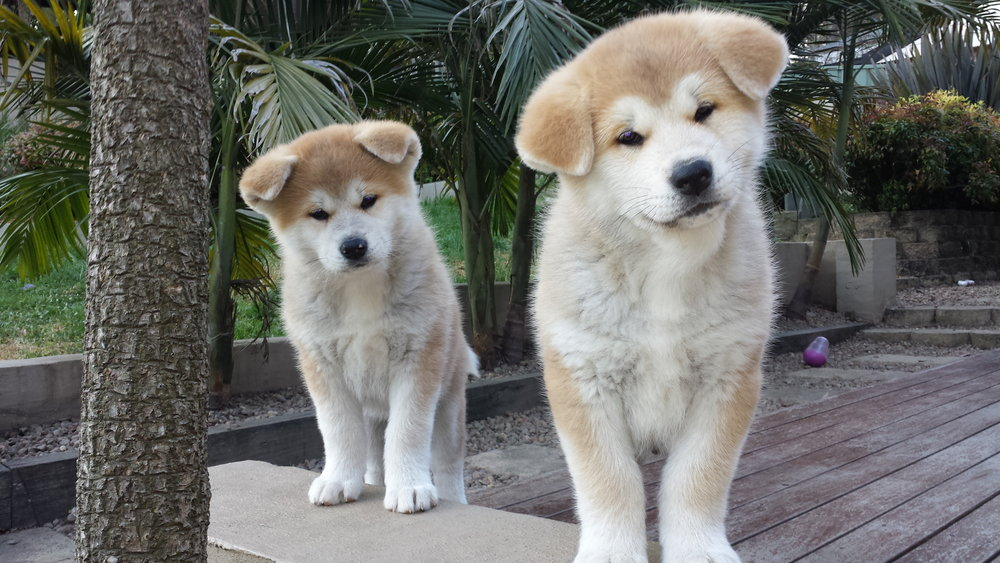 Japanese Akita Inu puppies Australia