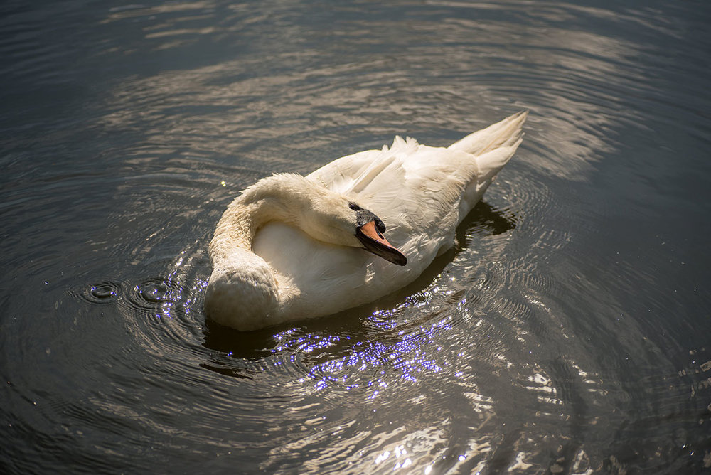 This friendly swan is certainly enjoying the summer sunshine at Attenborough Nature Reserve.