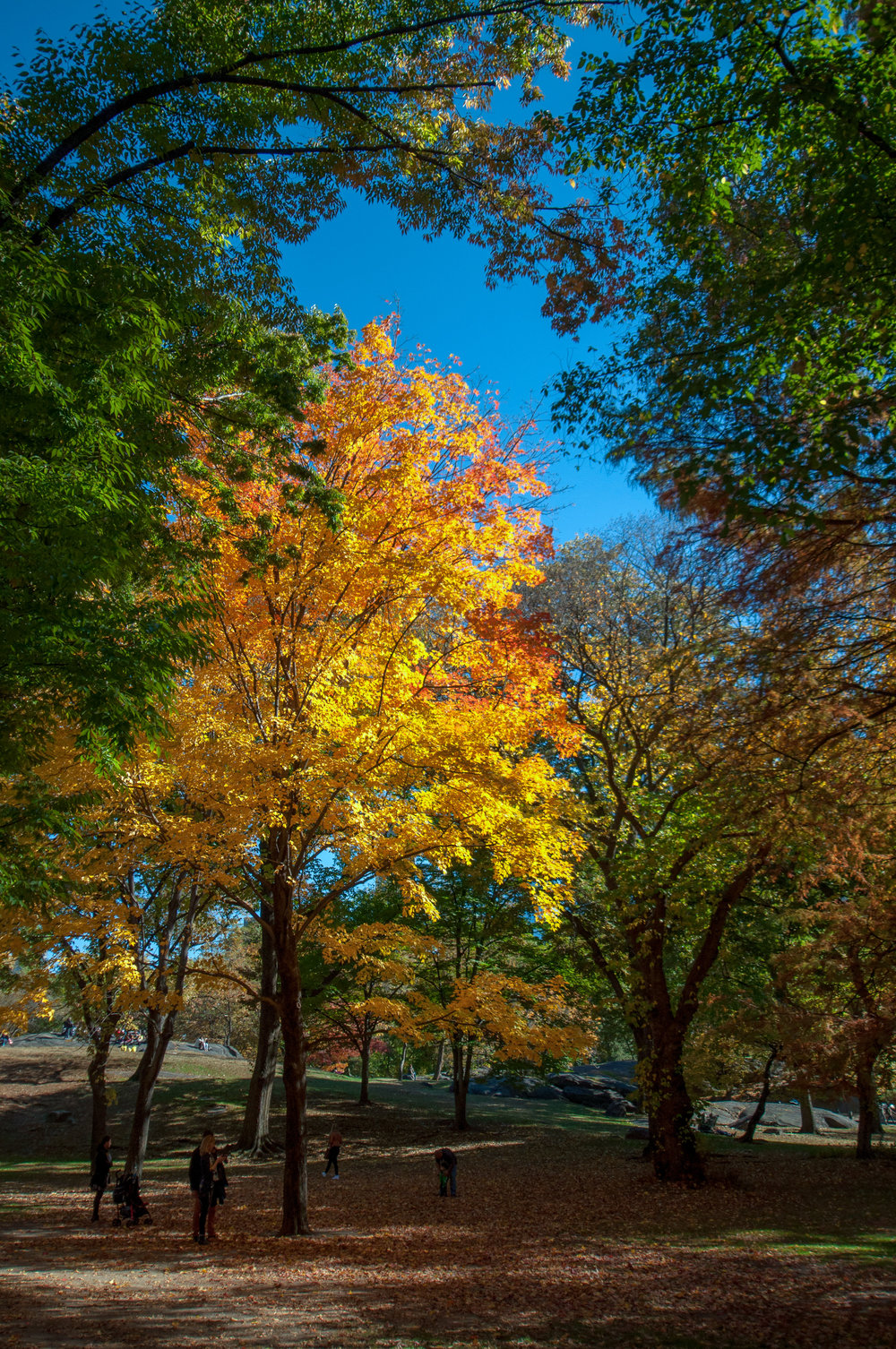 Whilst exploring Central Park, NY a few years ago this stunning sight appeared before our eyes - I just loved how the light was coming through the trees lighting up this beautiful, vibrant tree.