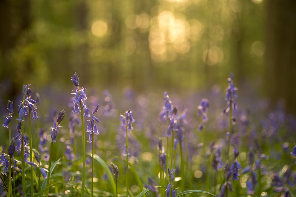 Our favourite bluebell spot in Nottinghamshire - Oldmoor Woods.