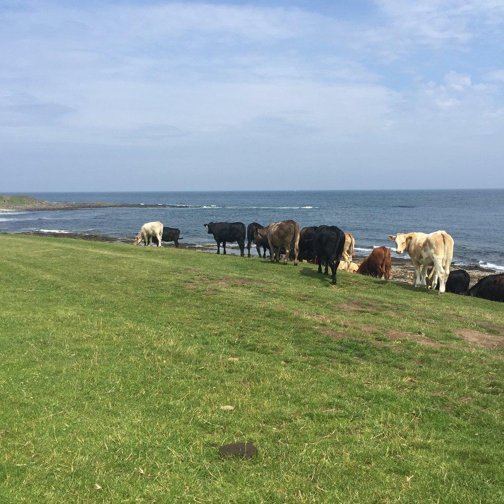 beach cows.jpg